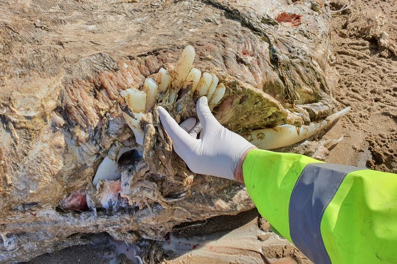 Mystery 23-foot sea beast weighing four tonnes found on beach in Wales