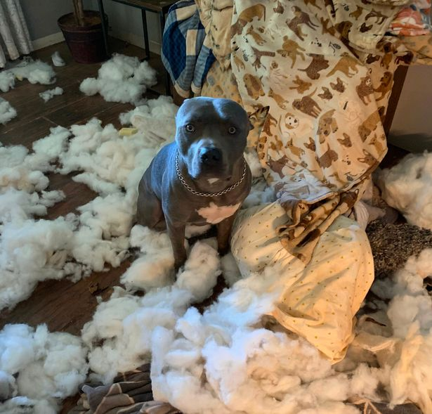 Woman thinks she's been burgled after her dog destroys sofa and breaks down door